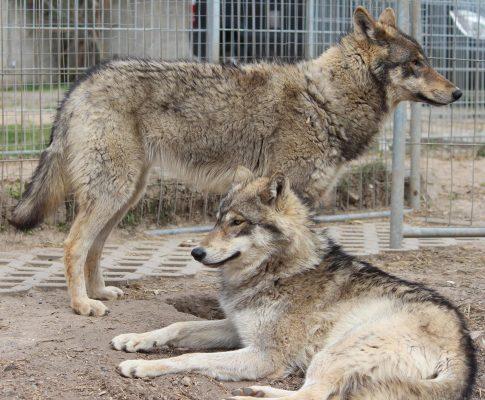 Junge Film Wölfe