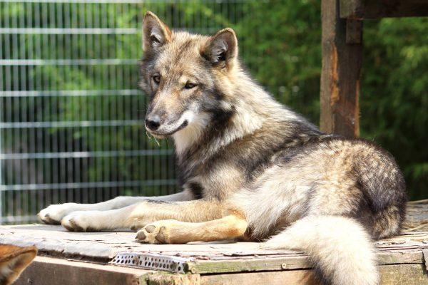 Junger Film Wolf