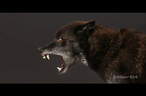 Filmtier wolf fletscht