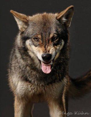 Fletschender Wolf