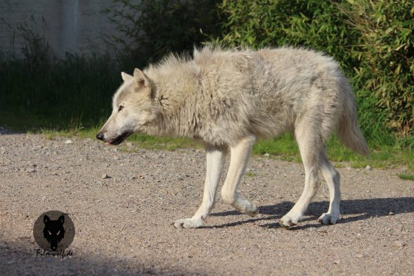Filmtier Arctic Wolf