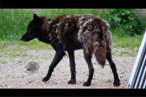Filmtiere schwarze Wölfe