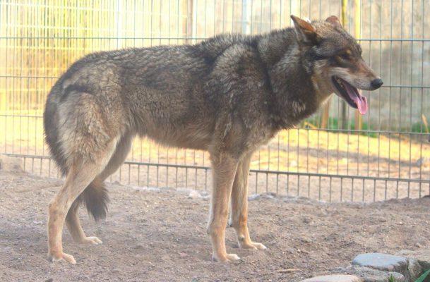 Grauer großer Film Wolf