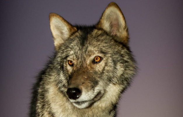 Grauer Film Wolf