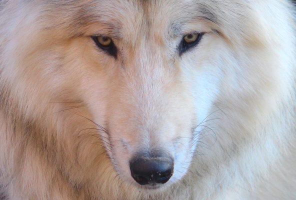 Weisser Film Wolf