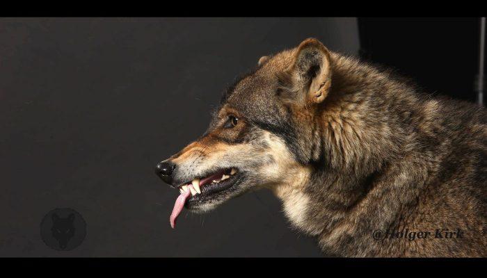 Filmtiere Film Wölfe
