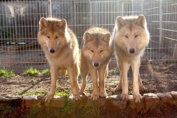 Rudel arctic Film Wölfe