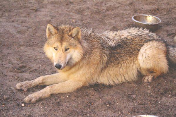 Wolf liegt am Boden