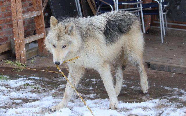 Weißer Film Wolf